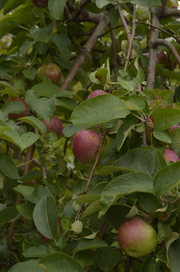 Apple Picking: A Fun Fall Activity for Kids & Families!